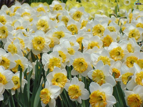 White yellow flowers 1 wide wallpaper hdflowerwallpaper white yellow flowers free wallpaper mightylinksfo Image collections