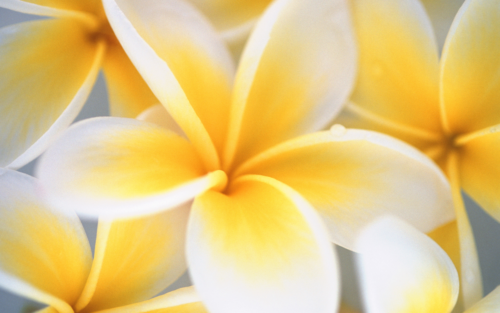 White yellow flowers 12 widescreen wallpaper hdflowerwallpaper white yellow flowers free wallpaper mightylinksfo Image collections