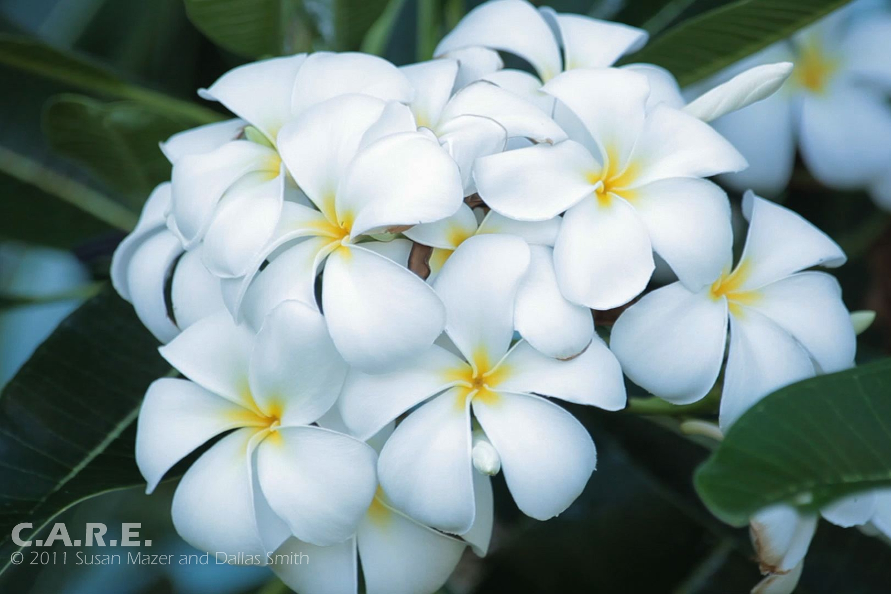 White yellow flowers 4 free hd wallpaper hdflowerwallpaper white yellow flowers background mightylinksfo