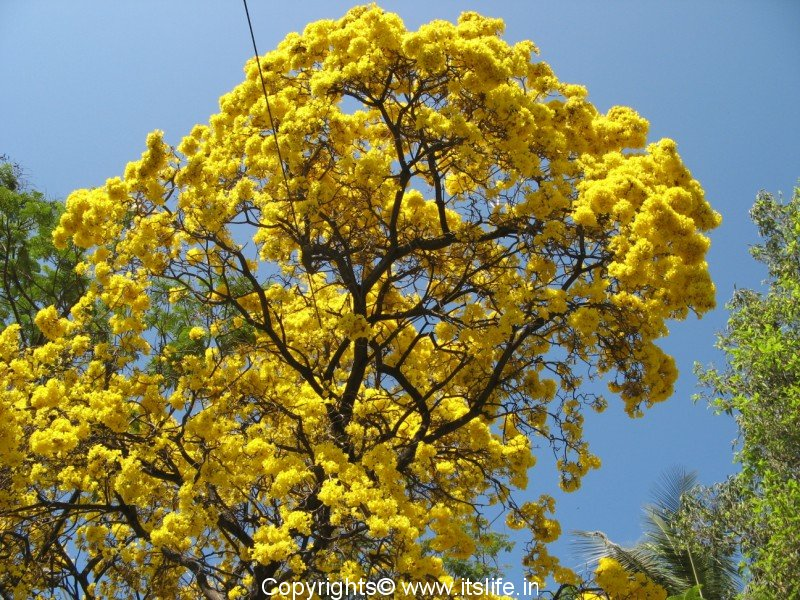 Yellow flowers tree 31 cool hd wallpaper hdflowerwallpaper yellow flowers tree free wallpaper mightylinksfo