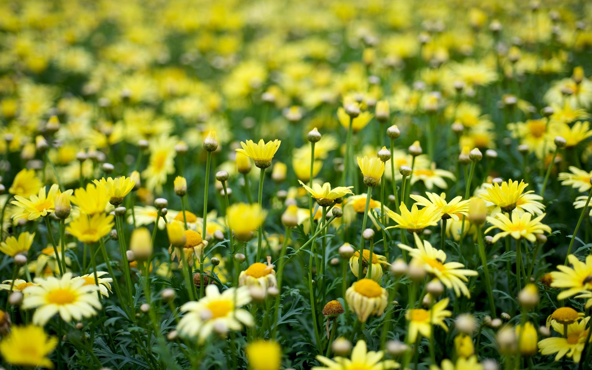 Yellow flowers wallpaper 10 desktop wallpaper hdflowerwallpaper yellow flowers wallpaper hd wallpaper mightylinksfo
