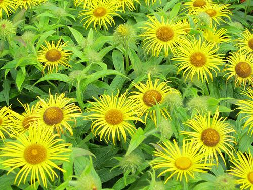 Yellow Garden Flowers Uk Hd Wallpaper