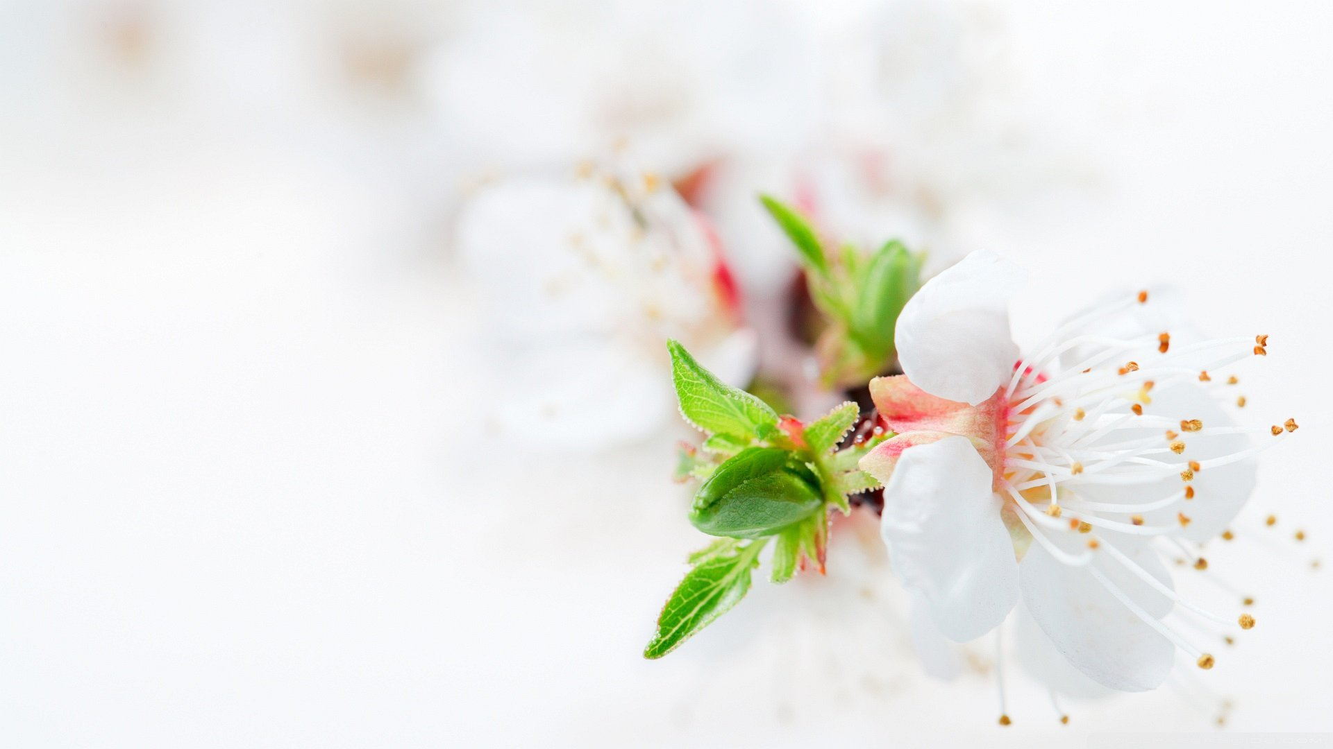 awesome white flower wallpaper 9 cool hd wallpaper
