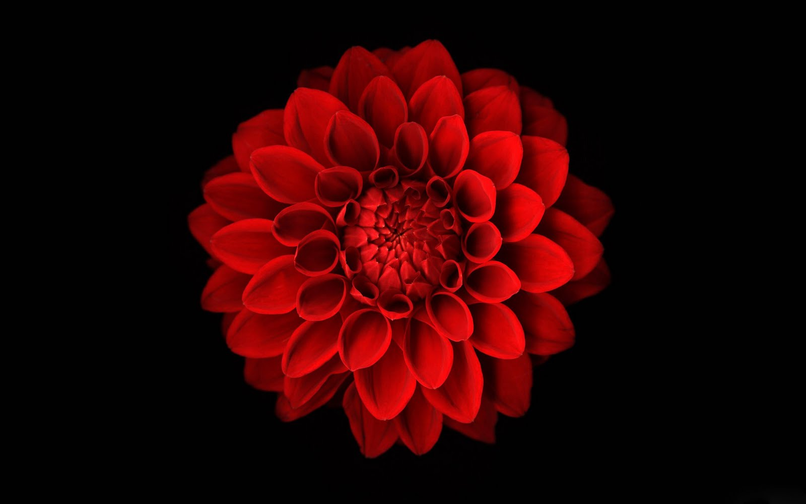 Black And Red Flower Iphone Wallpaper 1 Background ...