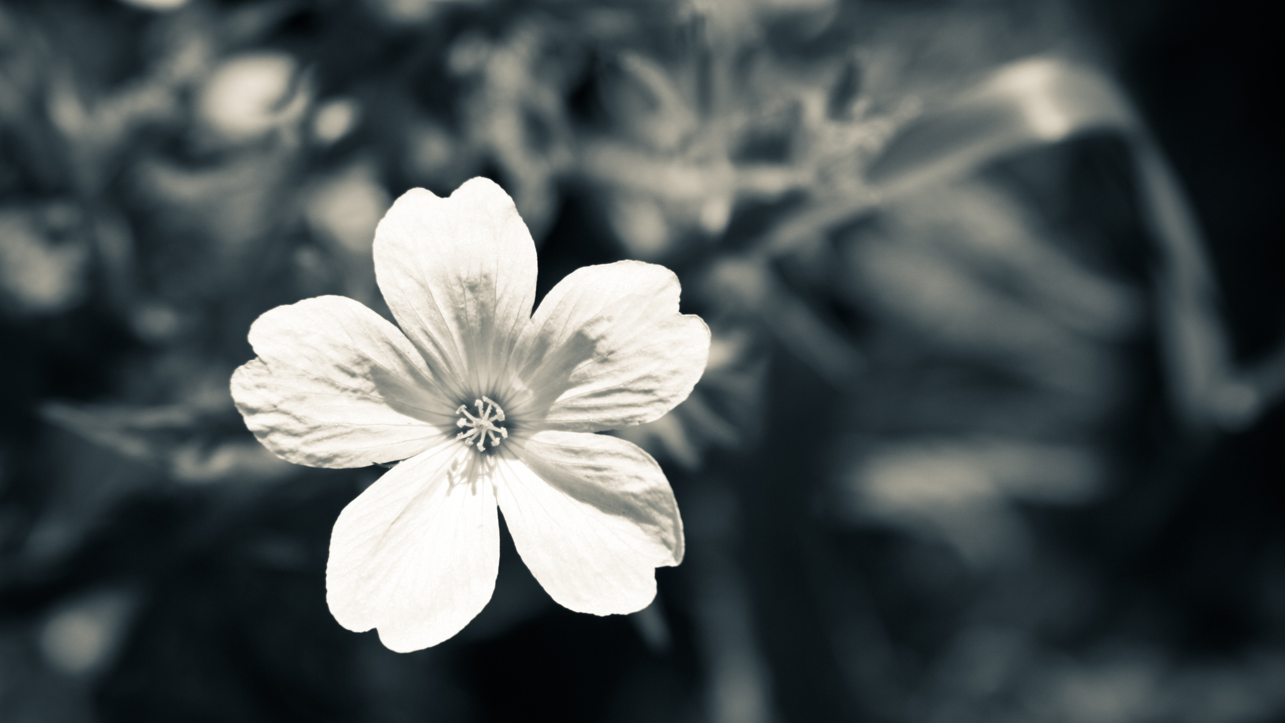 Black And White Flower Wallpaper 2 Background Hdflowerwallpaper