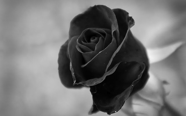 Black And White Rose Wallpaper 21 Cool Hd Wallpaper