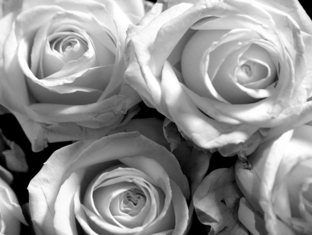 Black Rose White Background Black And White Rose W...