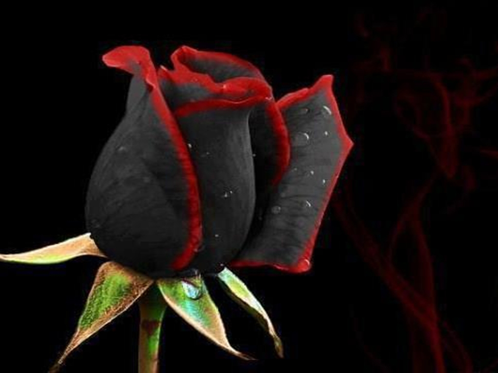 Black Flower Rose Wallaper Background Wallpaper