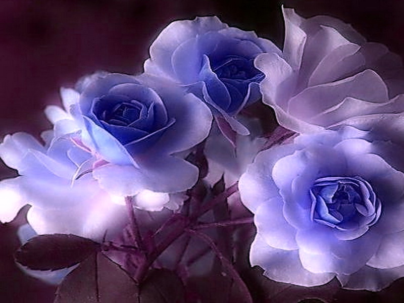 Blue And White Rose Wallpaper Widescreen