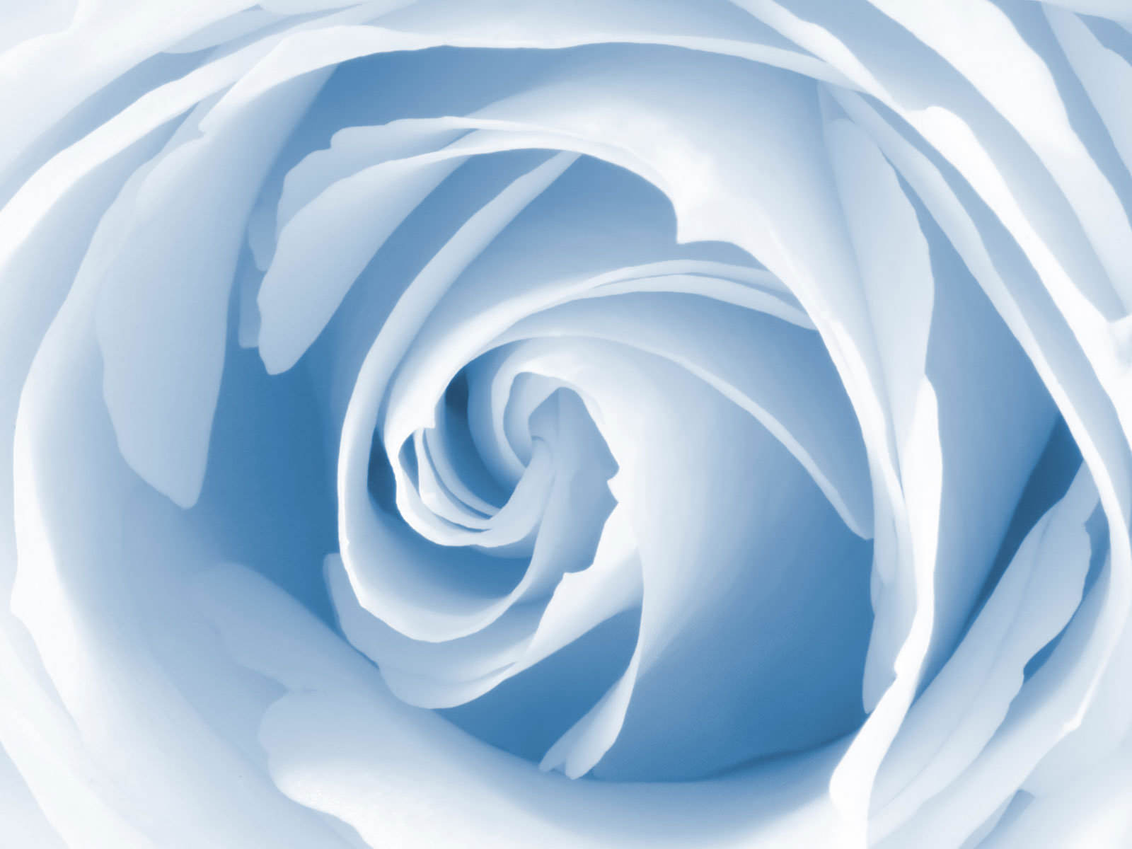 Blue and white rose wallpaper 15 widescreen wallpaper for Blue and white wallpaper
