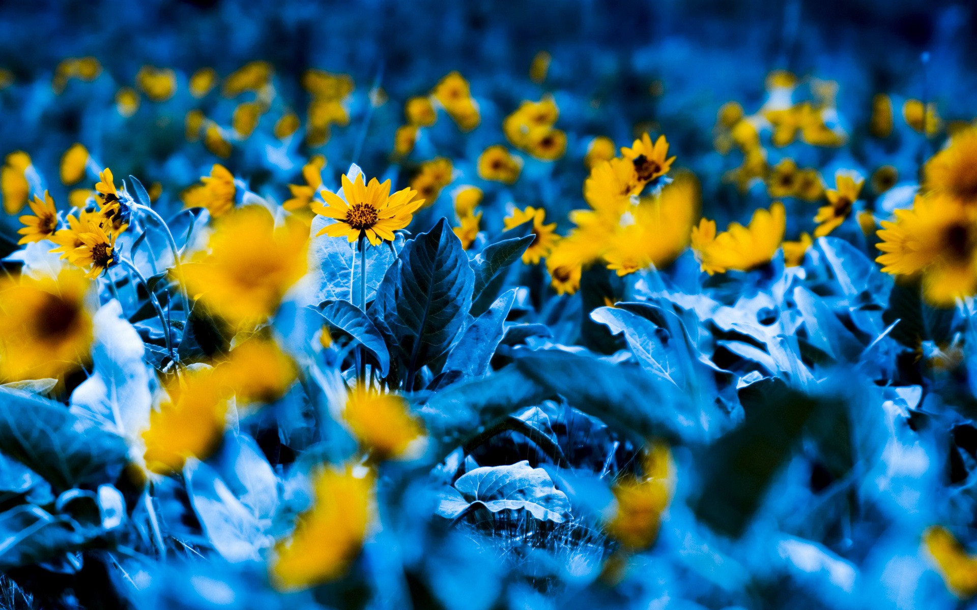Blue And Yellow Flower Wallpaper 4 Background Hdflowerwallpaper