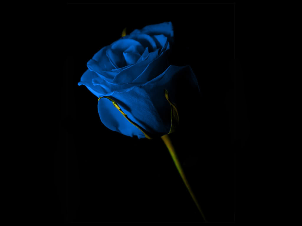 Blue and yellow rose wallpaper 14 widescreen wallpaper - Plants with blue flowers a splash of colors in the garden ...