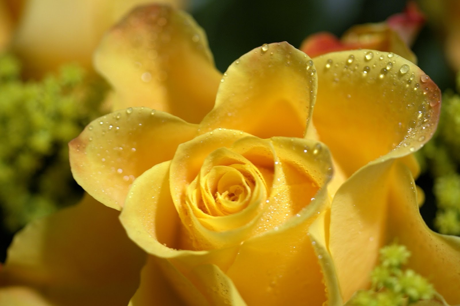 Blue And Yellow Rose Wallpaper Desktop Background