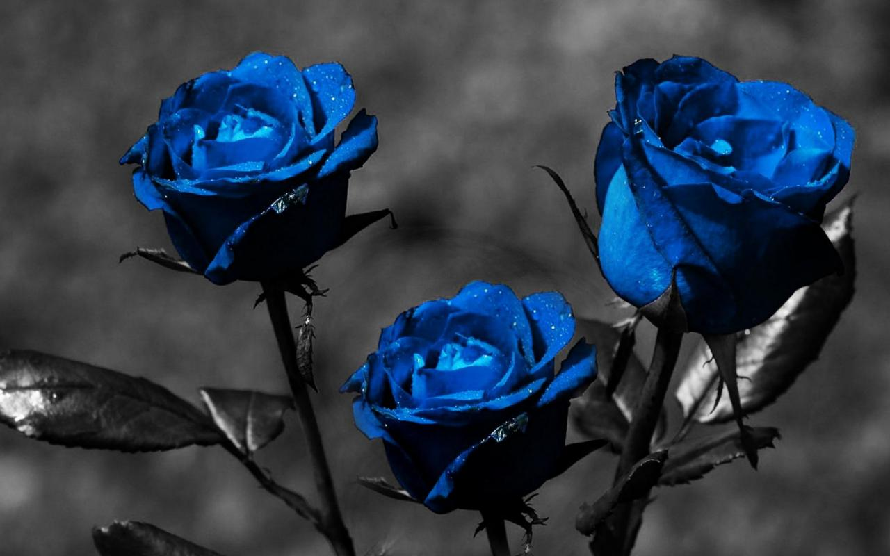 blue rose wallpaper for desktop 9 cool hd wallpaper