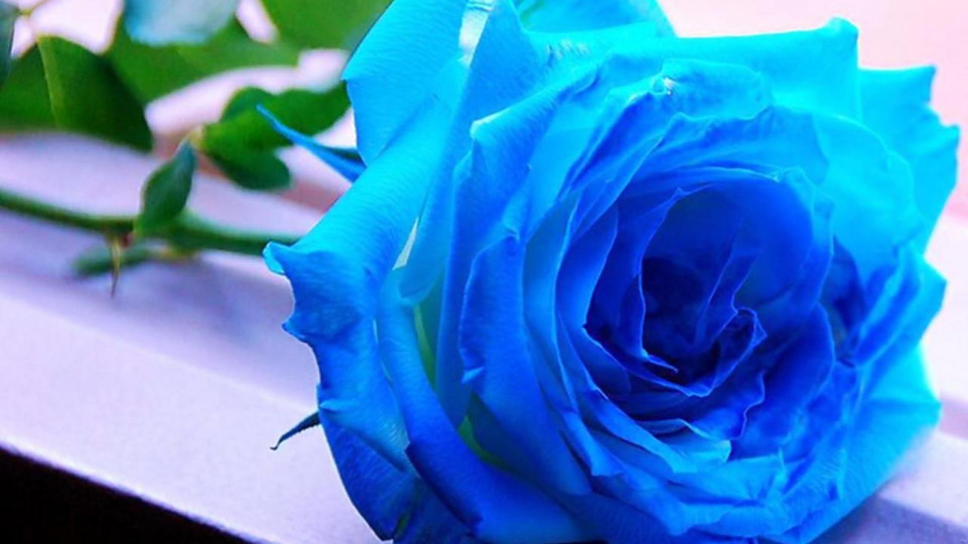 blue roses wallpaper 11 free wallpaper - hdflowerwallpaper