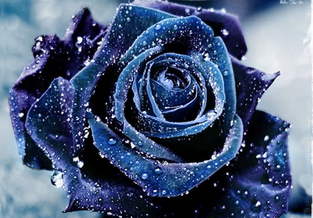 Blue Roses Wallpaper 18 Background