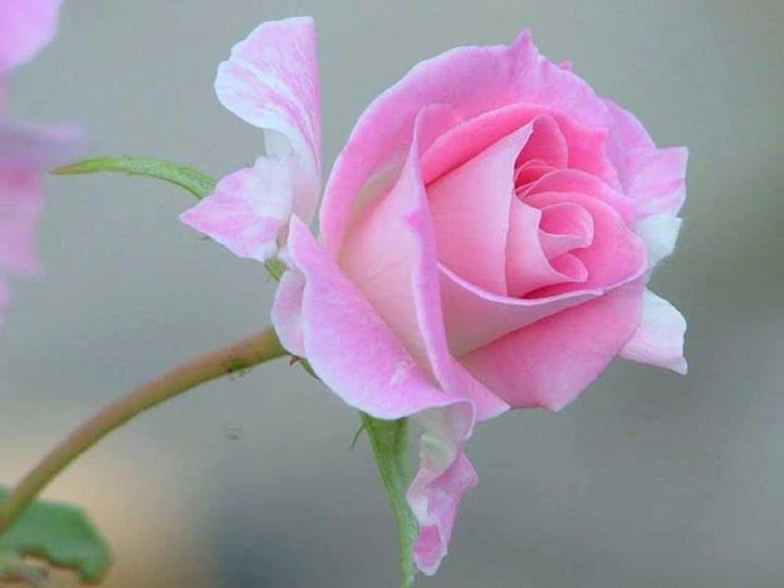 Pink rose hd images - Hd flower wallpaper rose ...