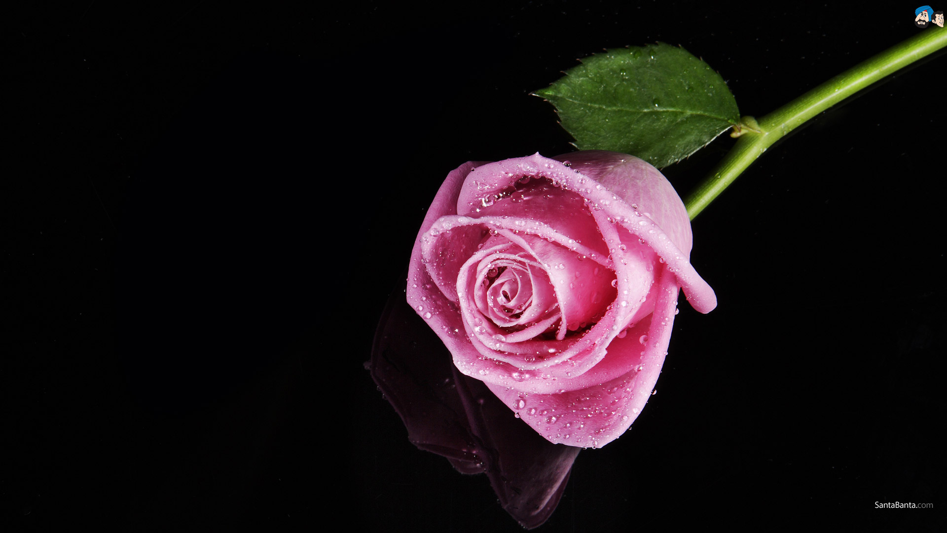 Free pink rose with raindrops wallpaper 2 cool hd wallpaper free pink rose with raindrops wallpaper free wallpaper altavistaventures