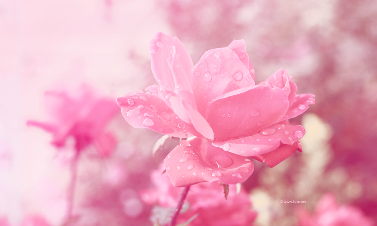 Free pink rose with raindrops wallpaper 5 free hd wallpaper free pink rose with raindrops wallpaper hd wallpaper altavistaventures Image collections