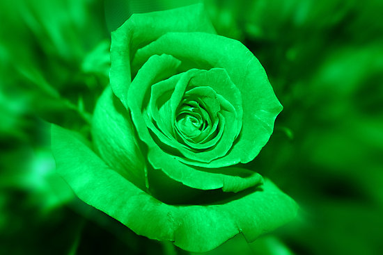 Green Rose 120 Desktop Background