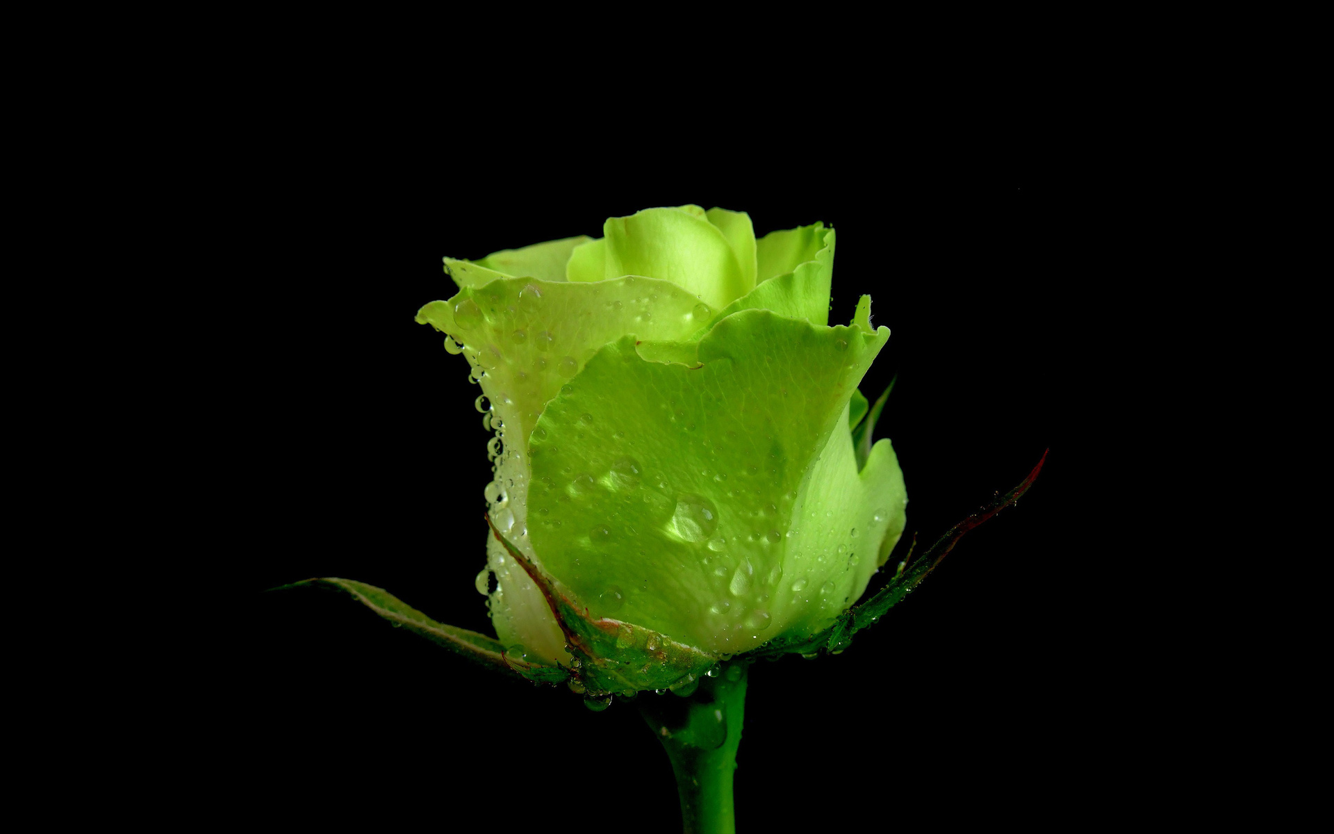 Green Rose Images 6 Cool Wallpaper