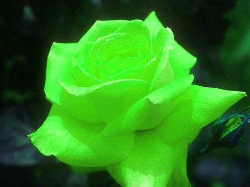 Green Roses Pictures 4 Widescreen Wallpaper