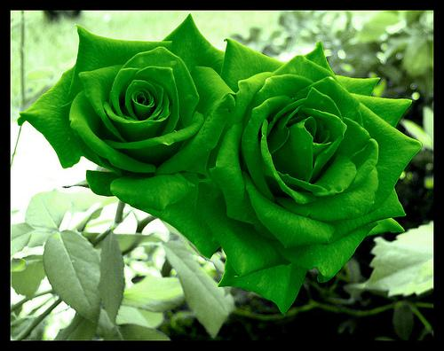 Green Rose Flower Wallpaper
