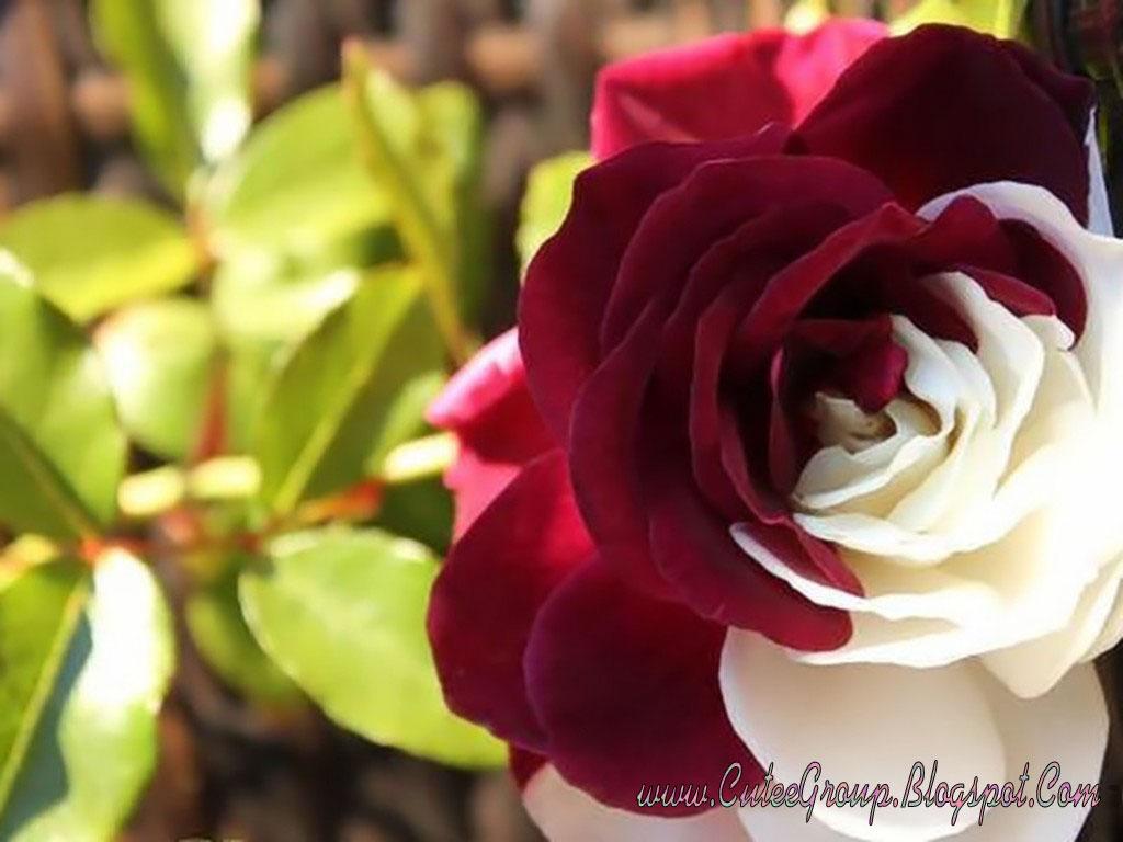 Off White Rose Desktop Wallpaper Background