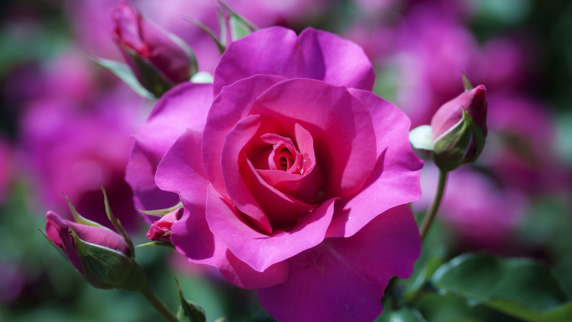 Pink Rose Wallpaper For Desktop Free