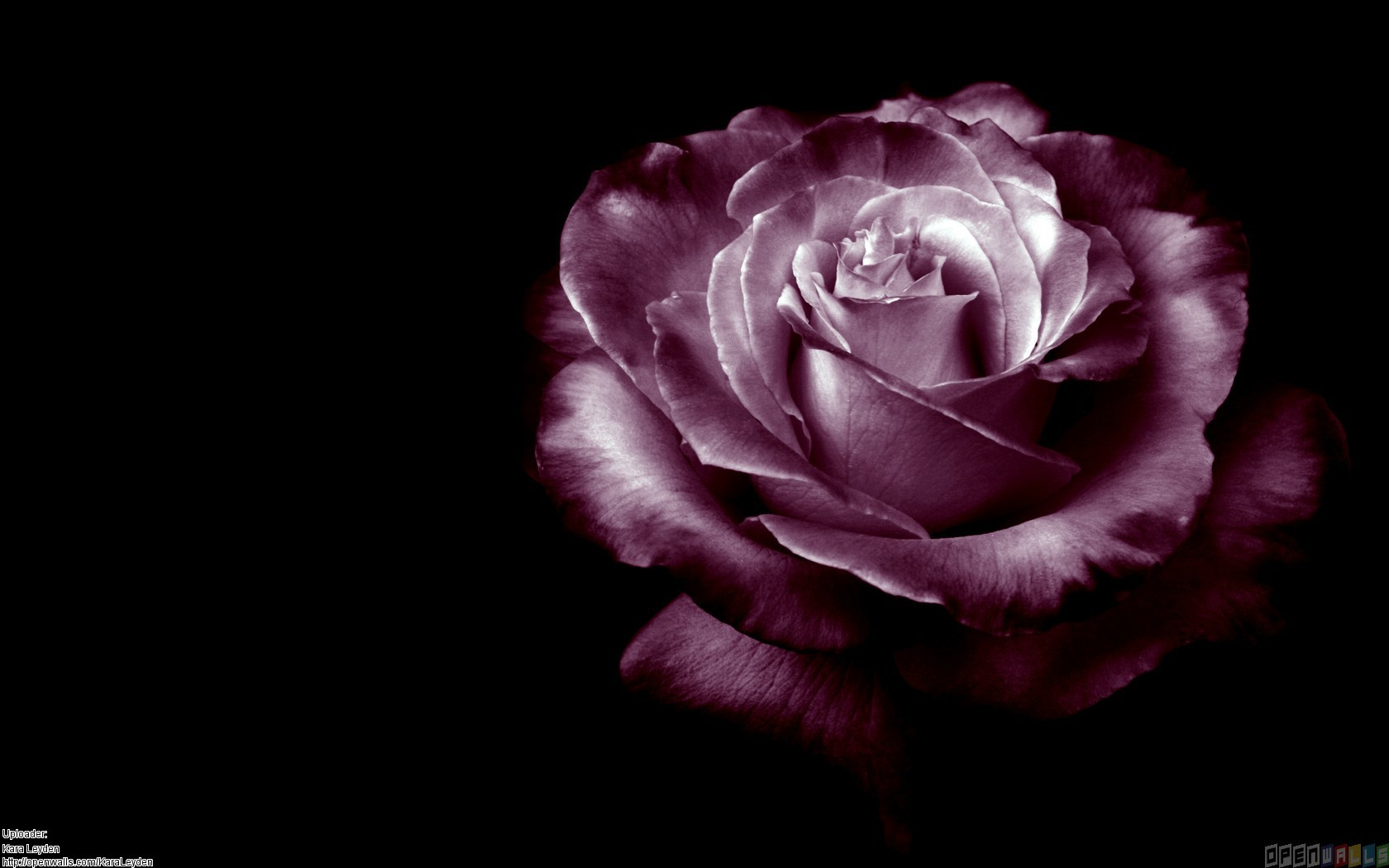 Purple Rose Wallpaper Desktop Widescreen