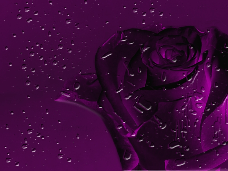 Purple rose wallpaper home 2 cool hd wallpaper for Purple wallpaper for home