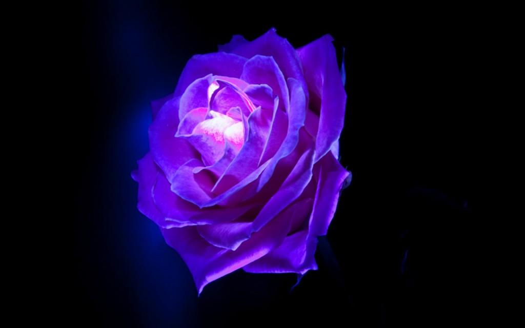 Purple Rose Wallpaper Home Widescreen