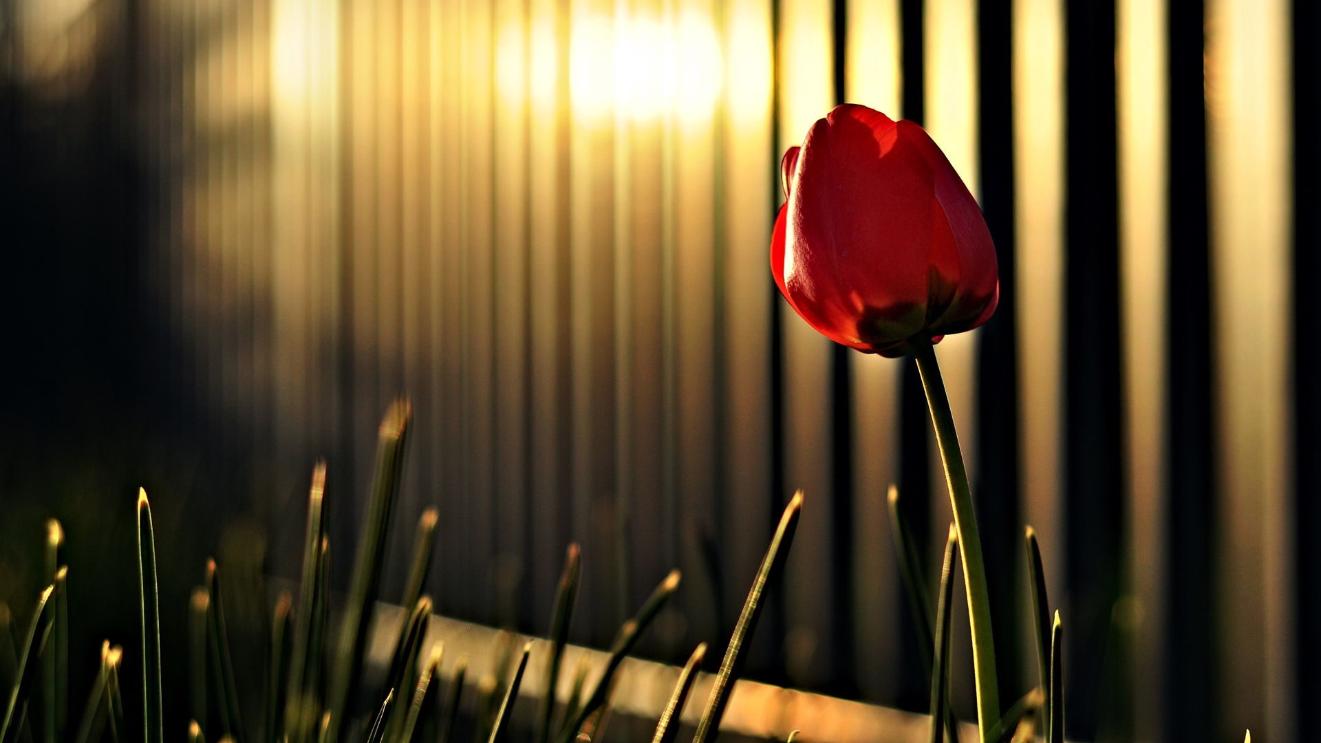 Red Flower Hd Wallpapers For Desktop Widescreen Wallpaper
