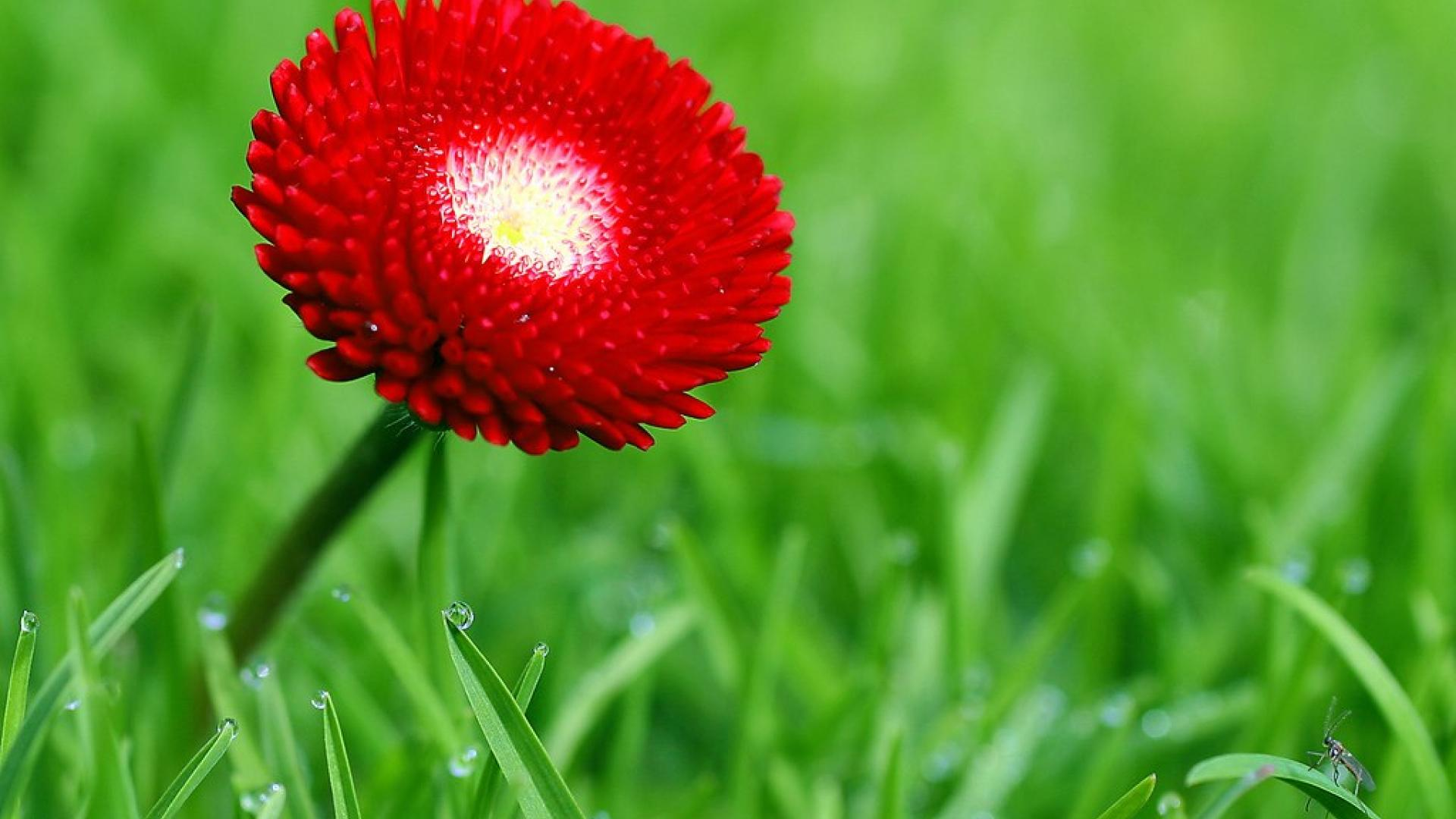 red flower hd wallpapers for desktop 8 cool wallpaper