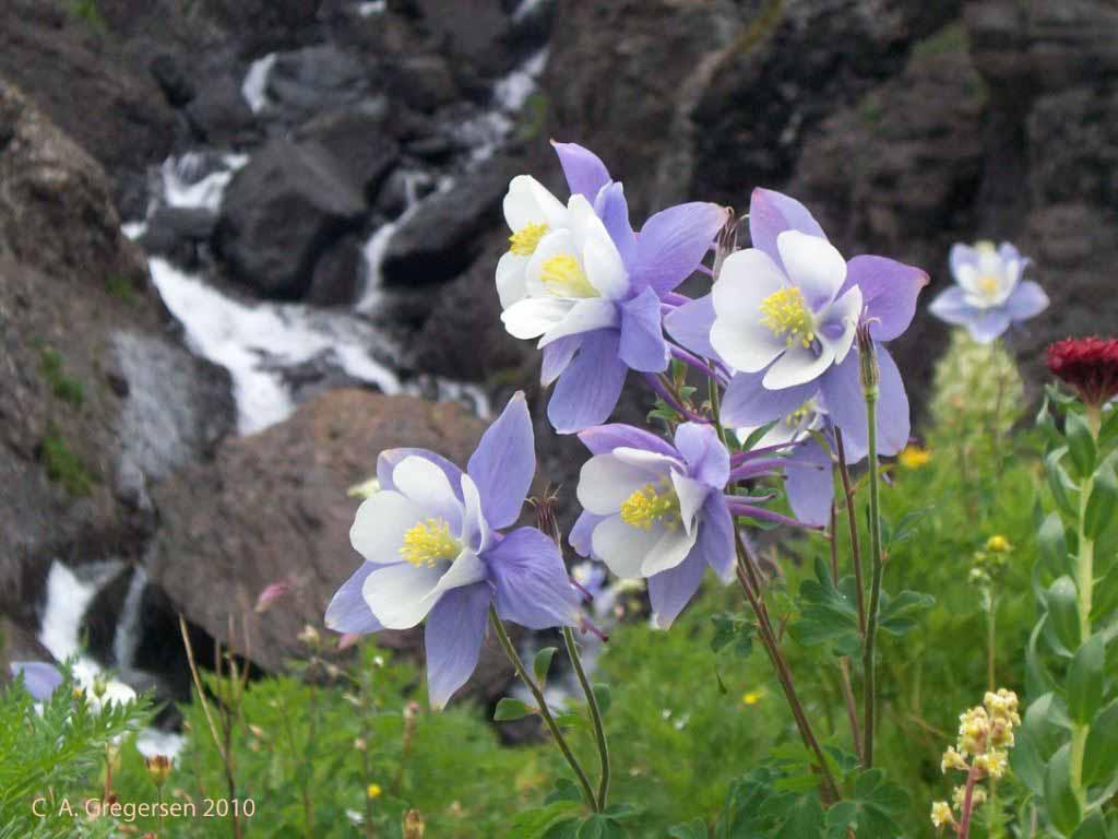 Rocky mountain plants and flowers 31 background hdflowerwallpaper rocky mountain plants and flowers free wallpaper izmirmasajfo