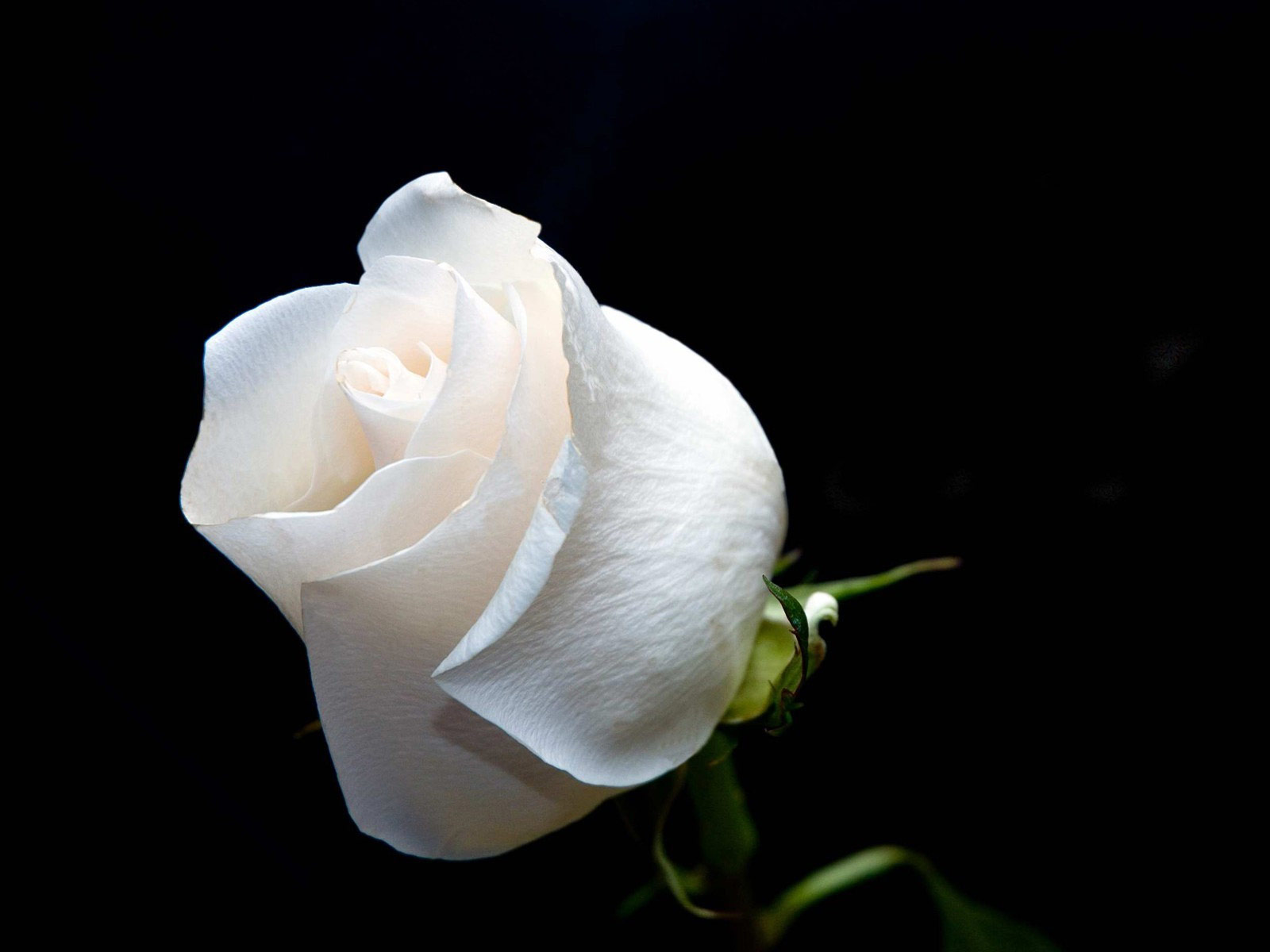 white rose wallpaper 10 desktop background - hdflowerwallpaper