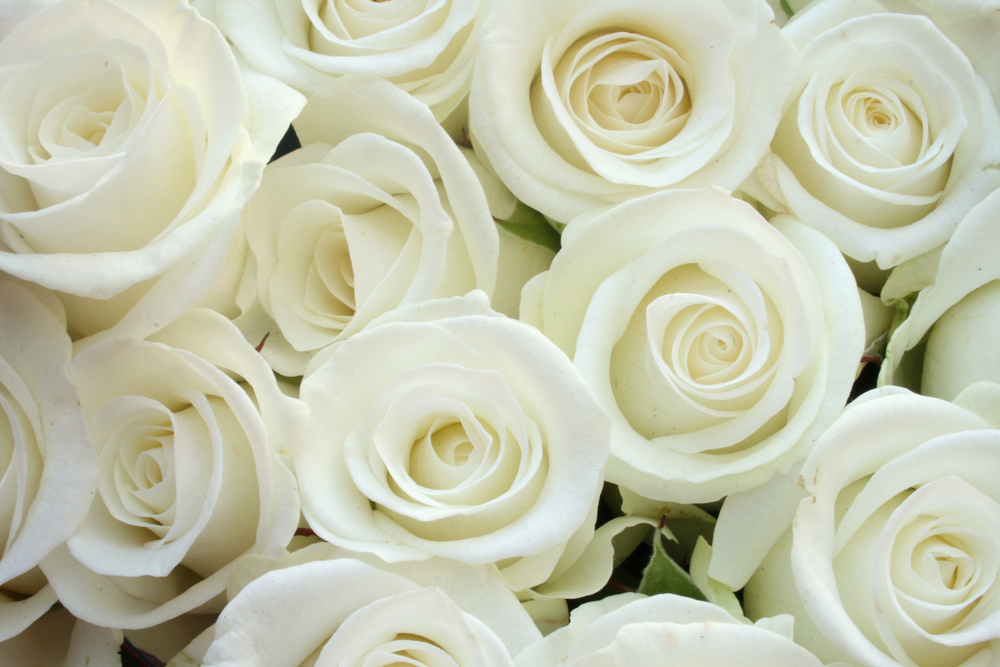 white rose backgrounds wallpapers - photo #40