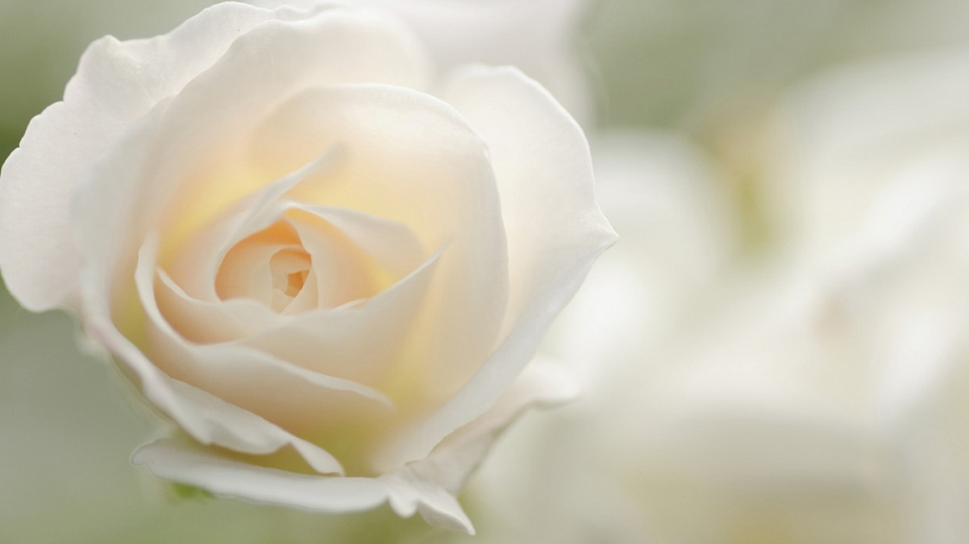 white rose backgrounds wallpapers - photo #11