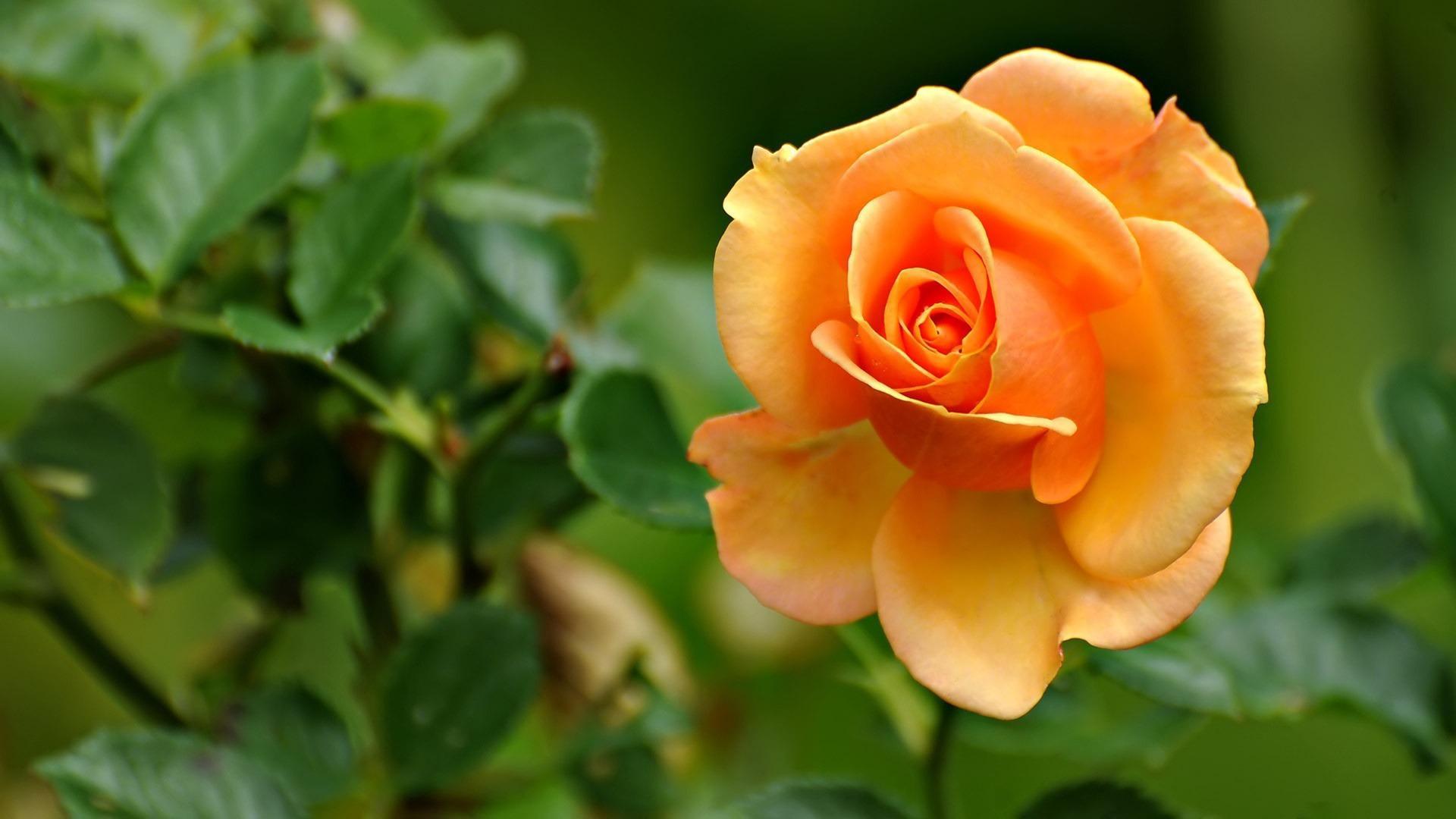 Yellow Rose Flower Wallpaper Hd Flowers Healthy