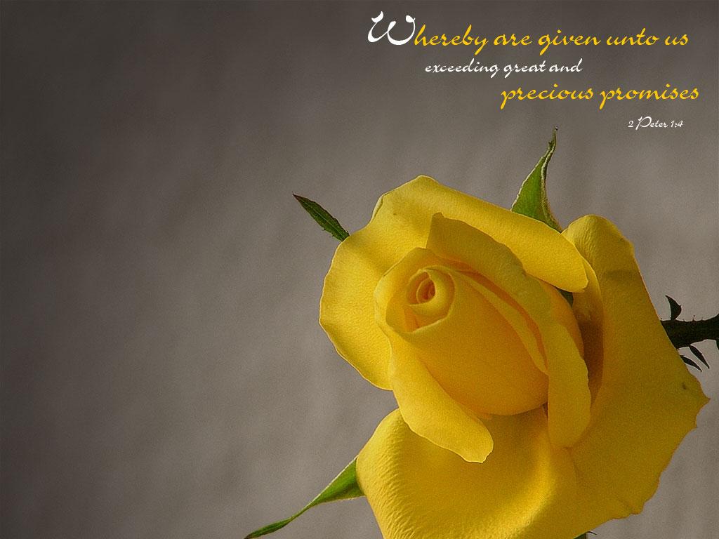Yellow Rose Wallpaper Free