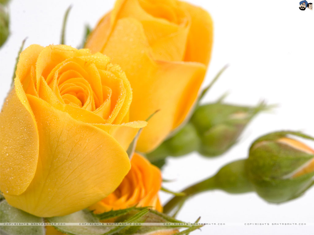 yellow rose wallpaper 30 desktop wallpaper - hdflowerwallpaper