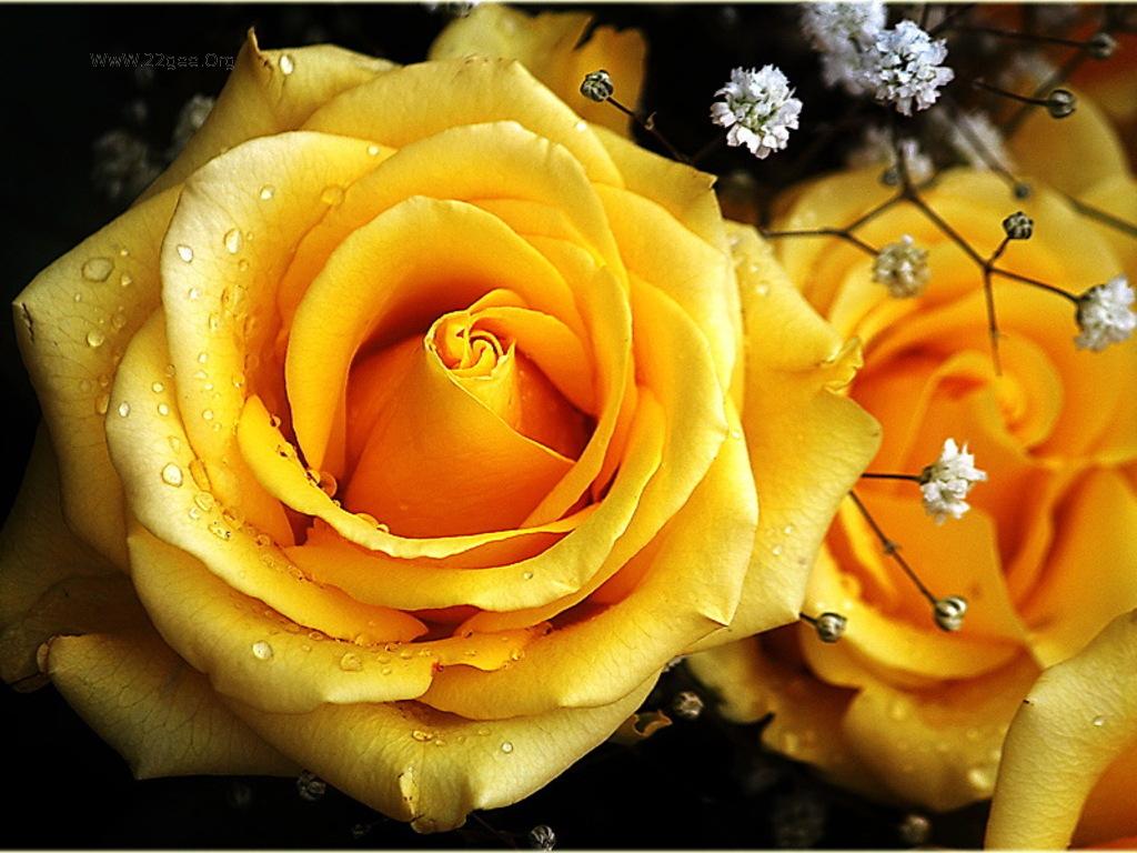 Hd wallpaper yellow rose - Yellow Rose Wallpapers Hd Wallpaper