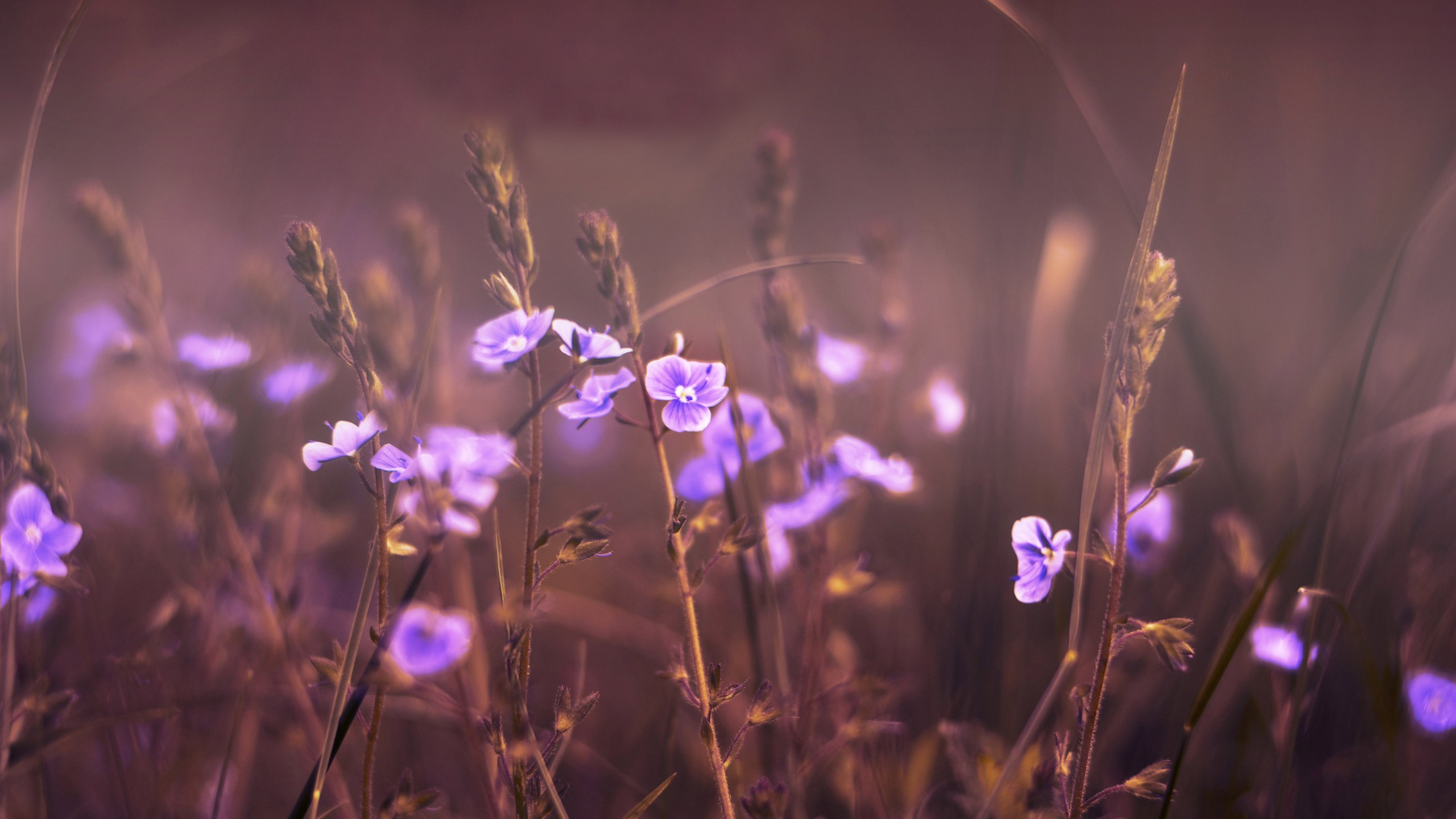 lavender flowers wallpapers 2560x1440 - photo #44
