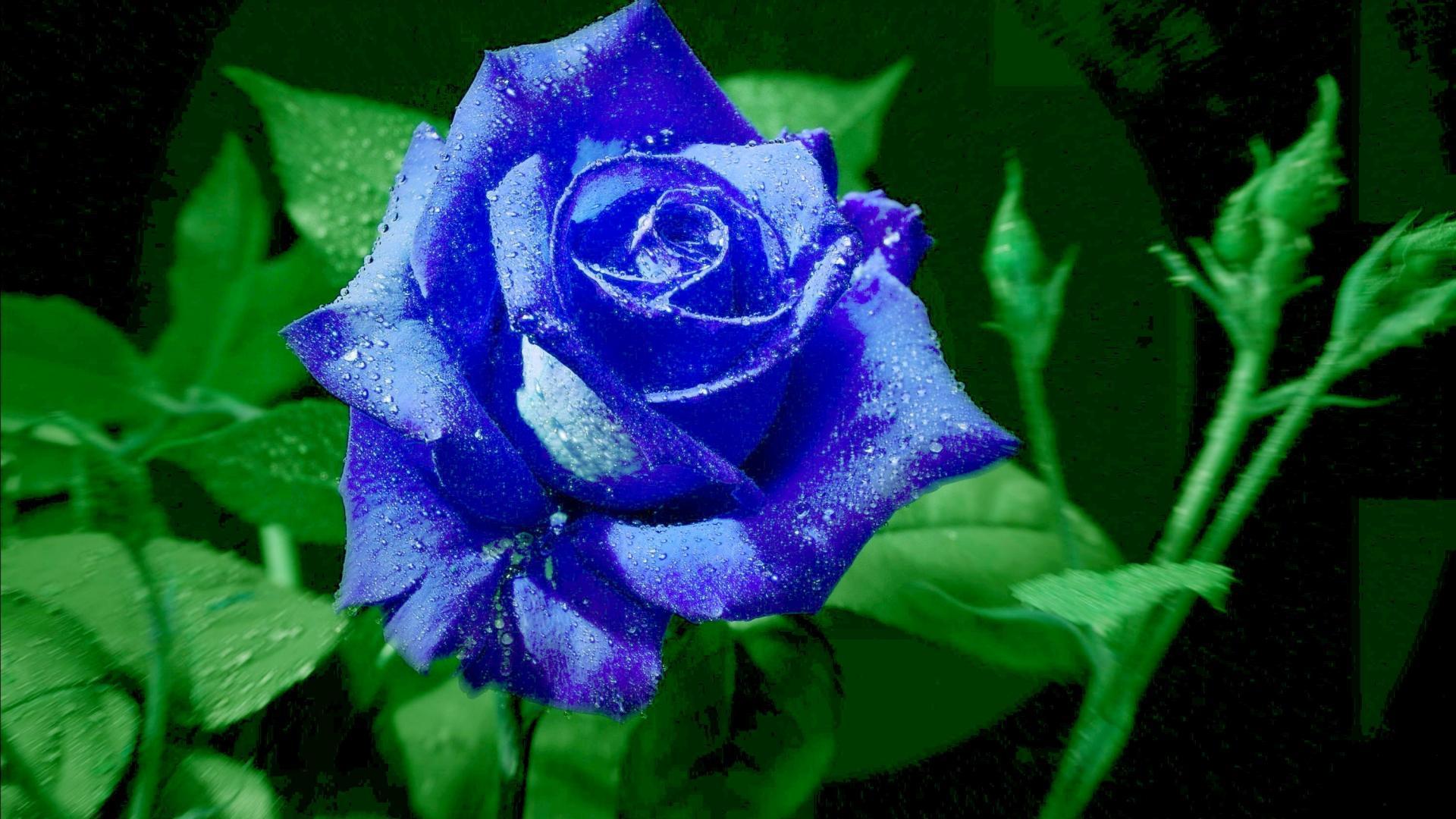 Blue Rose Flower 38 Desktop Background Hdflowerwallpaper