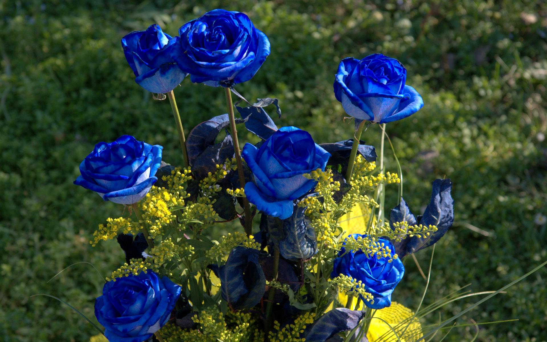 Blue Rose Flower Images 1 High Resolution Wallpaper