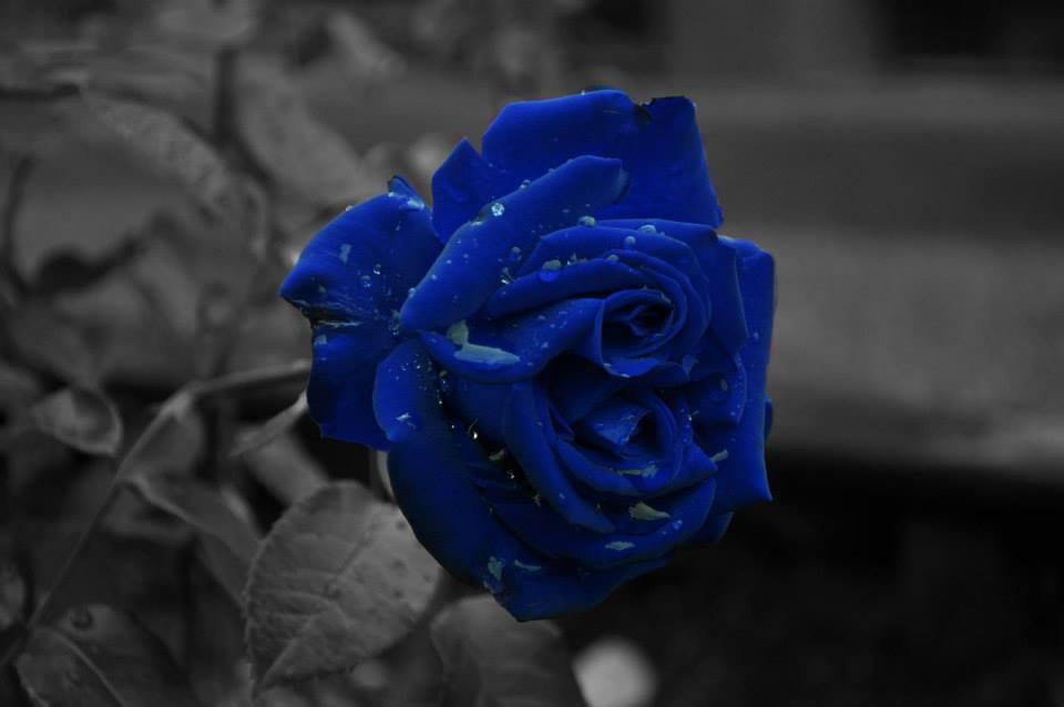 Blue Rose Flowers Widescreen Wallpaper