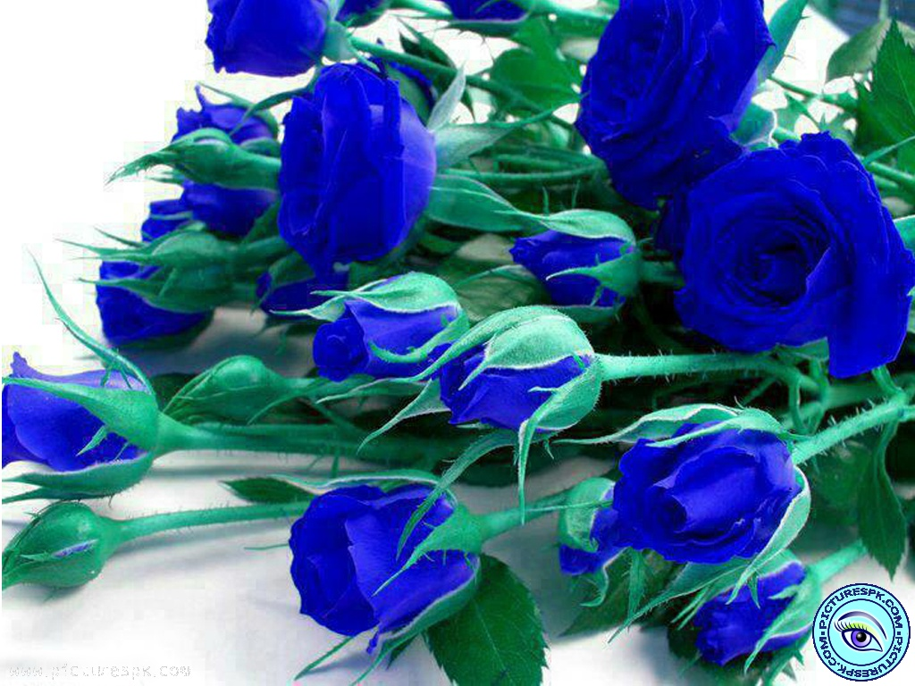 blue rose flowers 2 hd wallpaper - hdflowerwallpaper