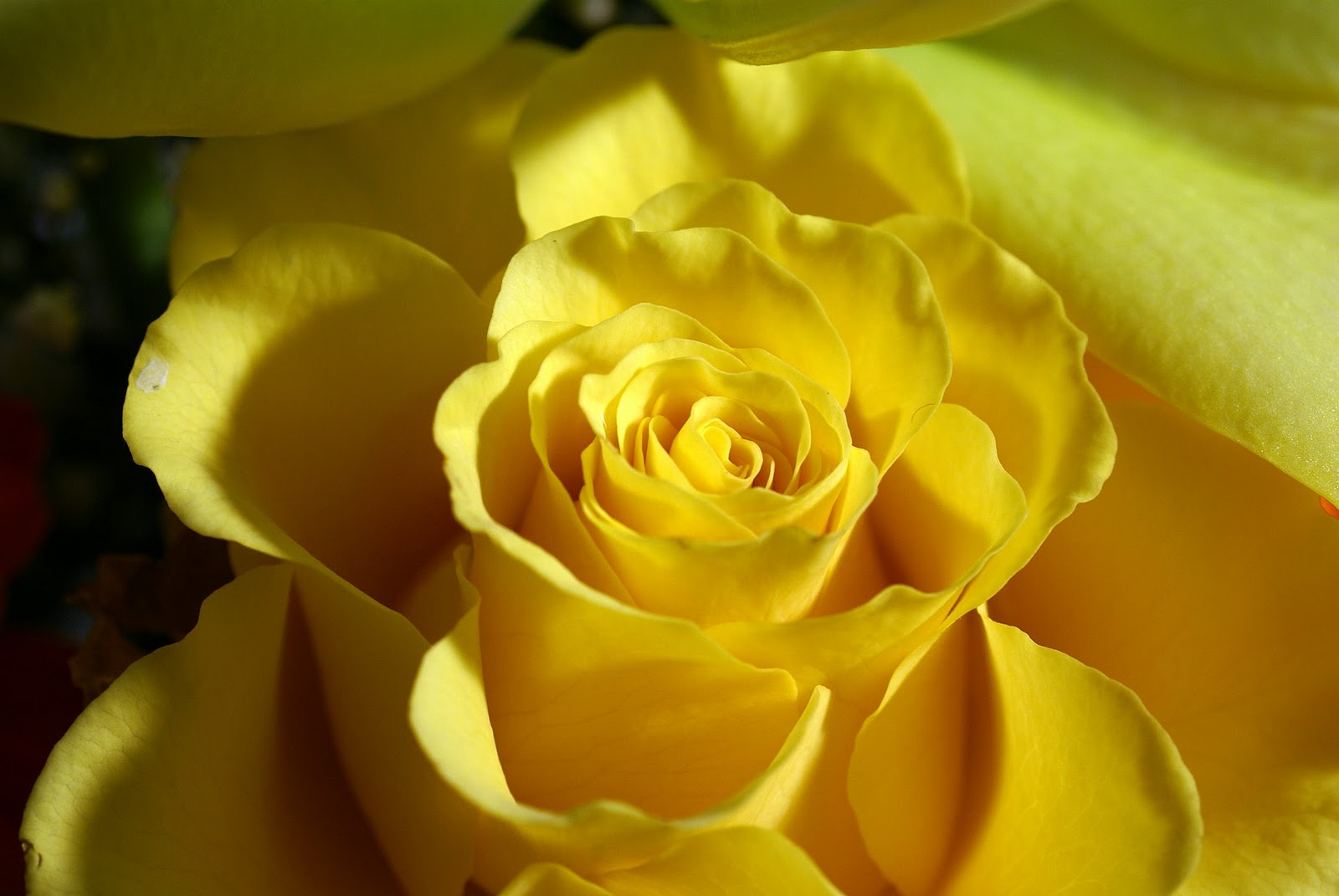 Flower meaning yellow rose 13 cool hd wallpaper hdflowerwallpaper flower meaning yellow rose hd wallpaper mightylinksfo Gallery
