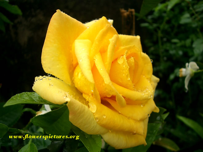 Flower meaning yellow rose 2 widescreen wallpaper flower meaning yellow rose hd wallpaper mightylinksfo