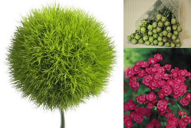 green dianthus flowers  free hd wallpaper  hdflowerwallpaper, Natural flower